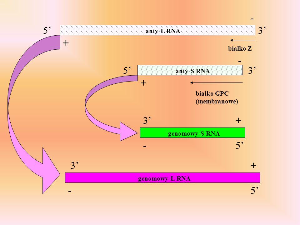 3 3 anty-L RNA anty-S RNA białko Z białko GPC (membranowe) - - + + 5 5 3 3 - - + + 5 5 genomowy-S RNA genomowy-L RNA