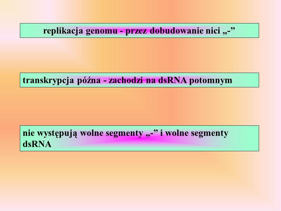 transkrypcja późna - zachodzi na dsRNA potomnym replikacja genomu - przez dobudowanie nici - nie występują wolne segmenty - i wolne segmenty dsRNA