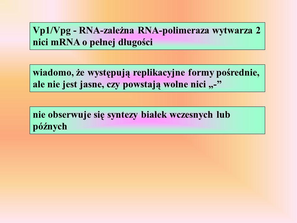 Vp1/Vpg - RNA-zależna RNA-polimeraza wytwarza 2 nici mRNA o pełnej długości wiadomo, że występują replikacyjne formy pośrednie, ale nie jest jasne, czy powstają wolne nici - nie obserwuje się syntezy białek wczesnych lub późnych