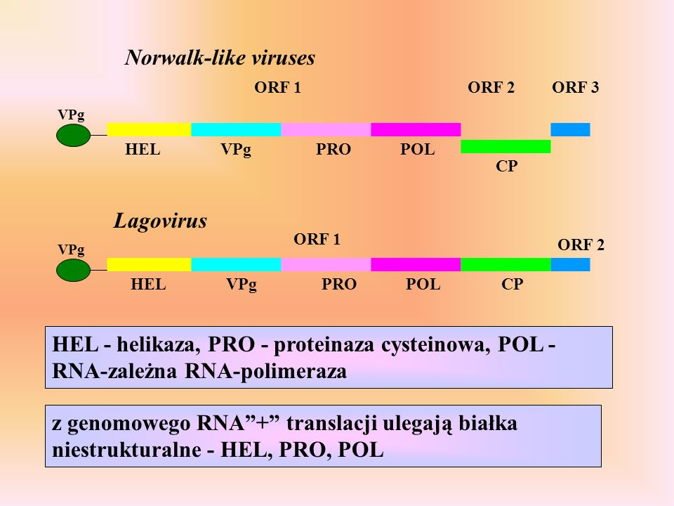 ORF 1ORF 3ORF 2 HELVPgPROPOL CP ORF 2 ORF 1 HELVPgPROPOLCP Norwalk-like viruses Lagovirus VPg HEL - helikaza, PRO - proteinaza cysteinowa, POL - RNA-zależna RNA-polimeraza z genomowego RNA+ translacji ulegają białka niestrukturalne - HEL, PRO, POL