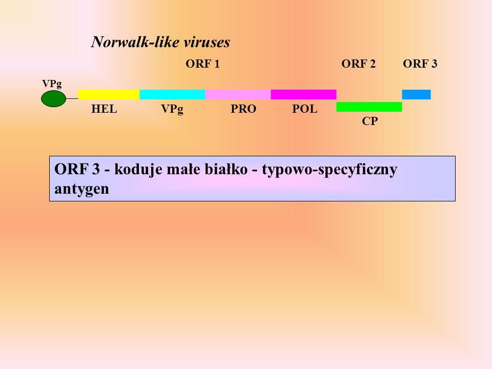 ORF 3 - koduje małe białko - typowo-specyficzny antygen ORF 1ORF 2 HELVPgPROPOL CP Norwalk-like viruses VPg ORF 3