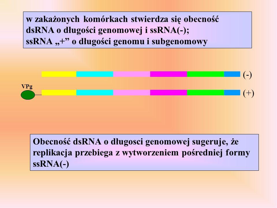 VPg (+) (-) Obecność dsRNA o długosci genomowej sugeruje, że replikacja przebiega z wytworzeniem pośredniej formy ssRNA(-) w zakażonych komórkach stwierdza się obecność dsRNA o długości genomowej i ssRNA(-); ssRNA + o długości genomu i subgenomowy