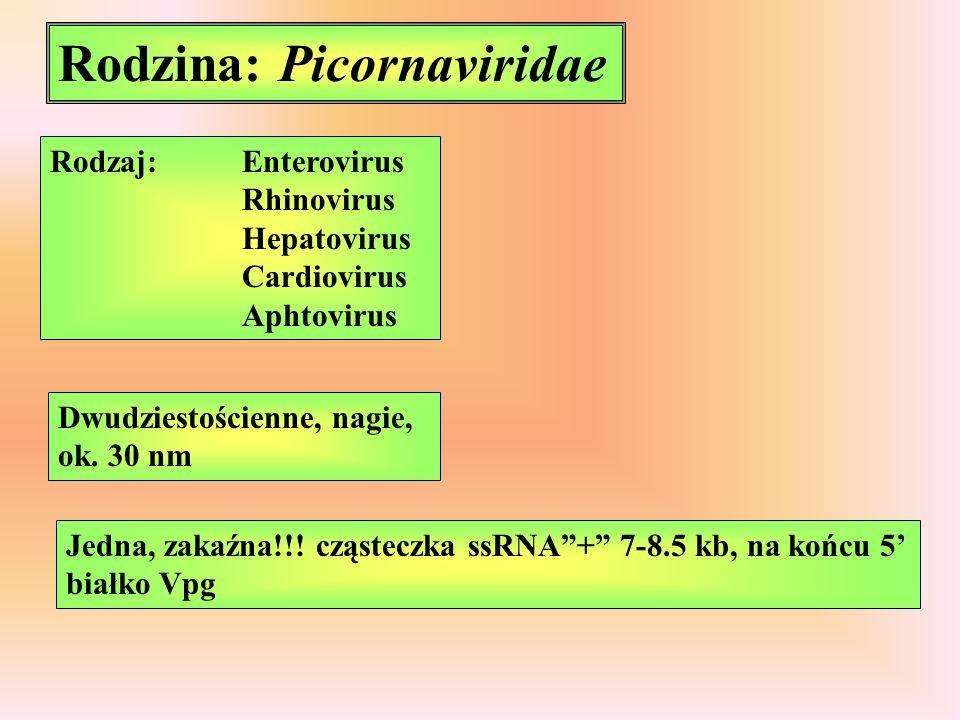 Rodzina: Picornaviridae Rodzaj:Enterovirus Rhinovirus Hepatovirus Cardiovirus Aphtovirus Dwudziestościenne, nagie, ok.