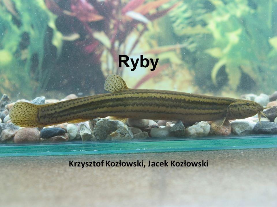 Ryby Krzysztof Kozłowski, Jacek Kozłowski