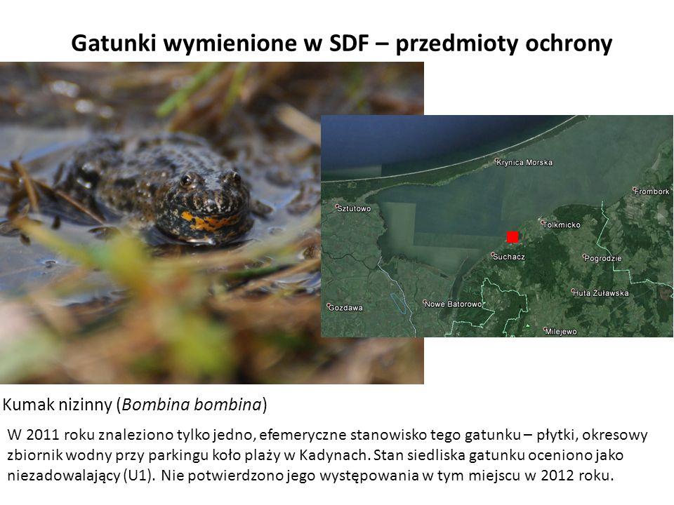 Gatunki wymienione w SDF – przedmioty ochrony Kumak nizinny (Bombina bombina) W 2011 roku znaleziono tylko jedno, efemeryczne stanowisko tego gatunku