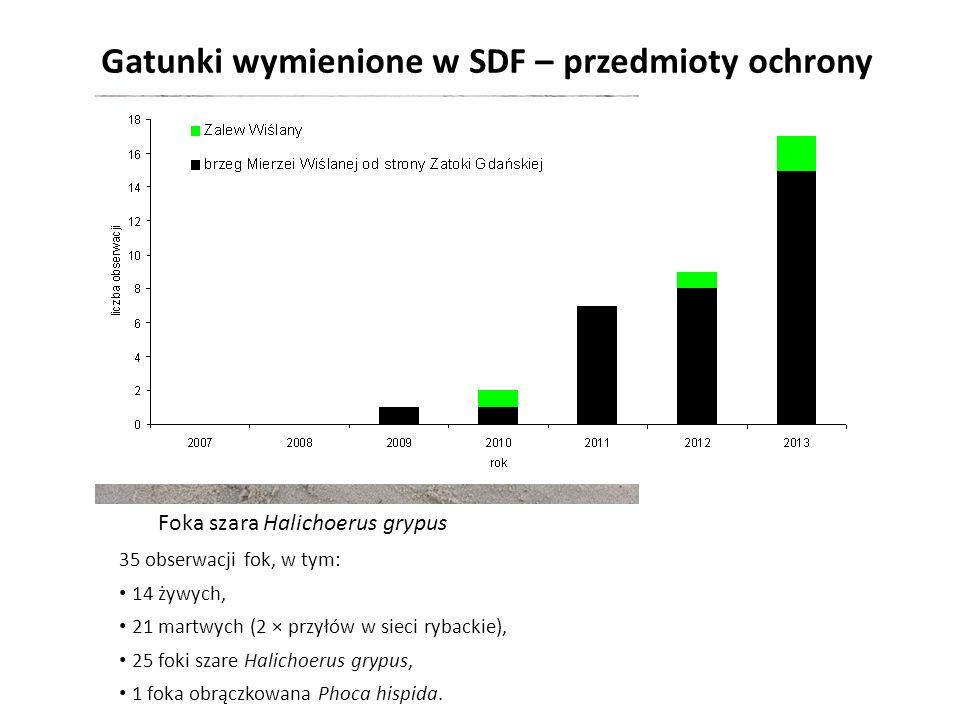 Gatunki wymienione w SDF – przedmioty ochrony Foka szara Halichoerus grypus 35 obserwacji fok, w tym: 14 żywych, 21 martwych (2 × przyłów w sieci ryba