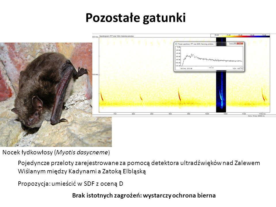 Pozostałe gatunki Nocek łydkowłosy (Myotis dasycneme ) Pojedyncze przeloty zarejestrowane za pomocą detektora ultradźwięków nad Zalewem Wiślanym międz