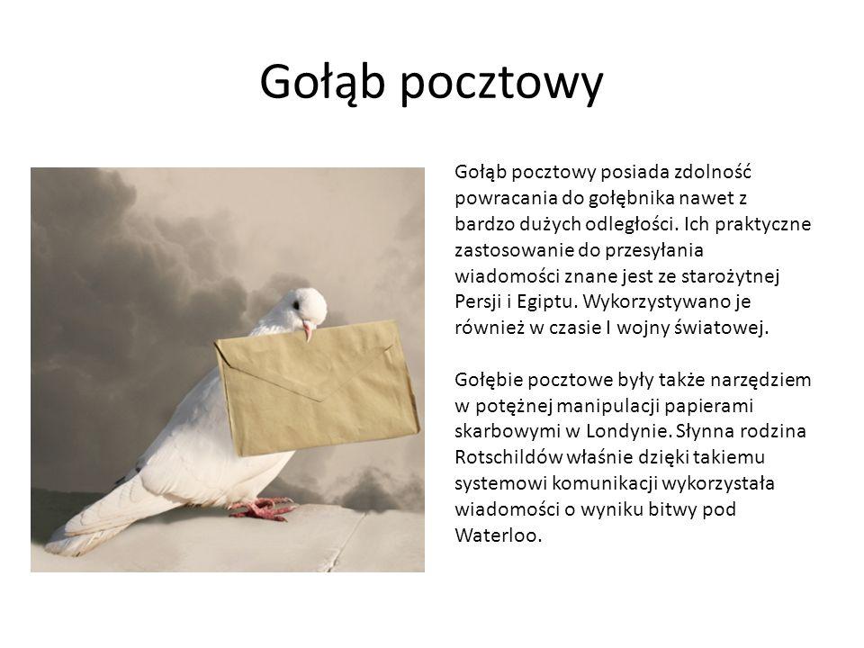 Gołąb pocztowy Gołąb pocztowy posiada zdolność powracania do gołębnika nawet z bardzo dużych odległości. Ich praktyczne zastosowanie do przesyłania wi