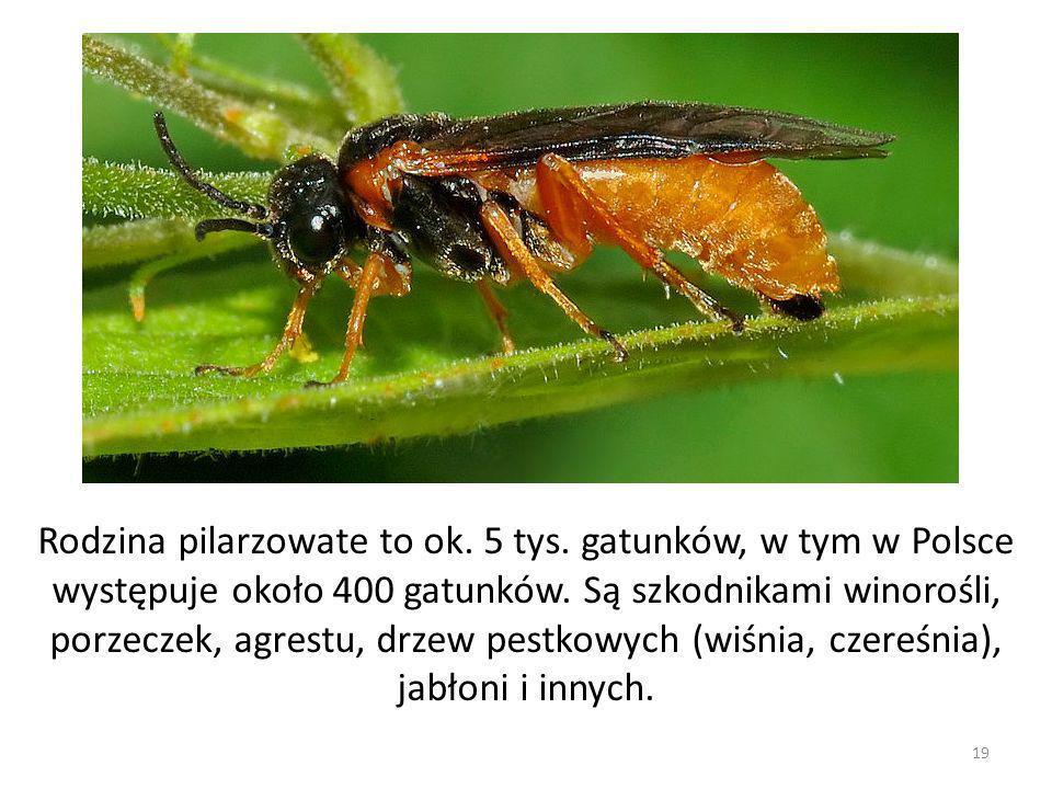 Rodzina pilarzowate to ok. 5 tys. gatunków, w tym w Polsce występuje około 400 gatunków. Są szkodnikami winorośli, porzeczek, agrestu, drzew pestkowyc