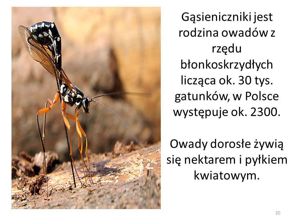 Gąsieniczniki jest rodzina owadów z rzędu błonkoskrzydłych licząca ok. 30 tys. gatunków, w Polsce występuje ok. 2300. Owady dorosłe żywią się nektarem