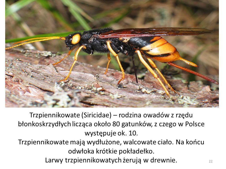Trzpiennikowate (Siricidae) – rodzina owadów z rzędu błonkoskrzydłych licząca około 80 gatunków, z czego w Polsce występuje ok. 10. Trzpiennikowate ma