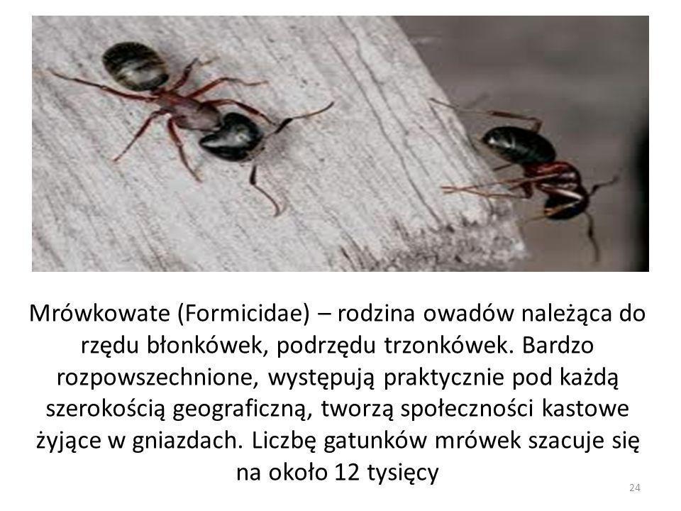 Mrówkowate (Formicidae) – rodzina owadów należąca do rzędu błonkówek, podrzędu trzonkówek. Bardzo rozpowszechnione, występują praktycznie pod każdą sz