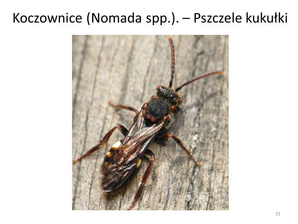 33 Koczownice (Nomada spp.). – Pszczele kukułki