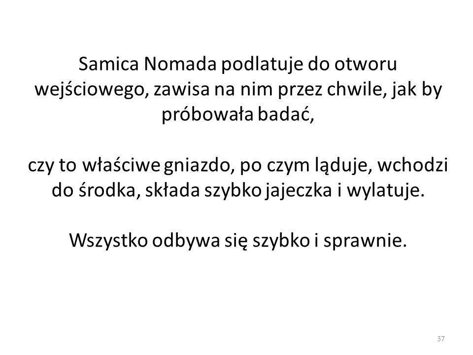 37 Samica Nomada podlatuje do otworu wejściowego, zawisa na nim przez chwile, jak by próbowała badać, czy to właściwe gniazdo, po czym ląduje, wchodzi