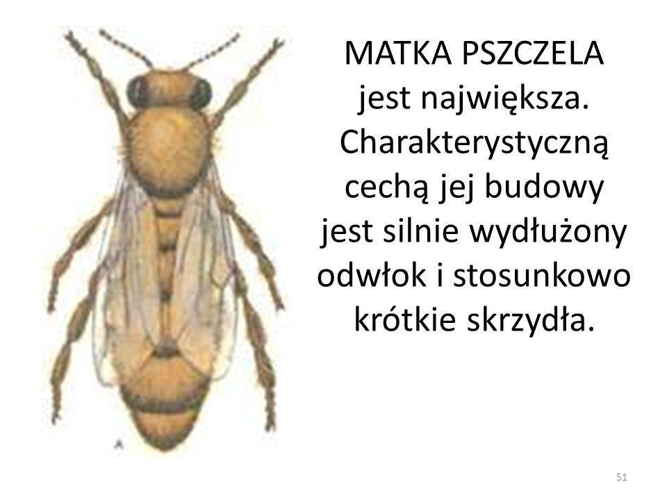 MATKA PSZCZELA jest największa. Charakterystyczną cechą jej budowy jest silnie wydłużony odwłok i stosunkowo krótkie skrzydła. 51