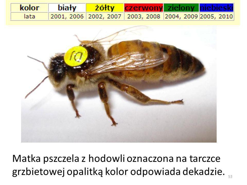 53 Matka pszczela z hodowli oznaczona na tarczce grzbietowej opalitką kolor odpowiada dekadzie.
