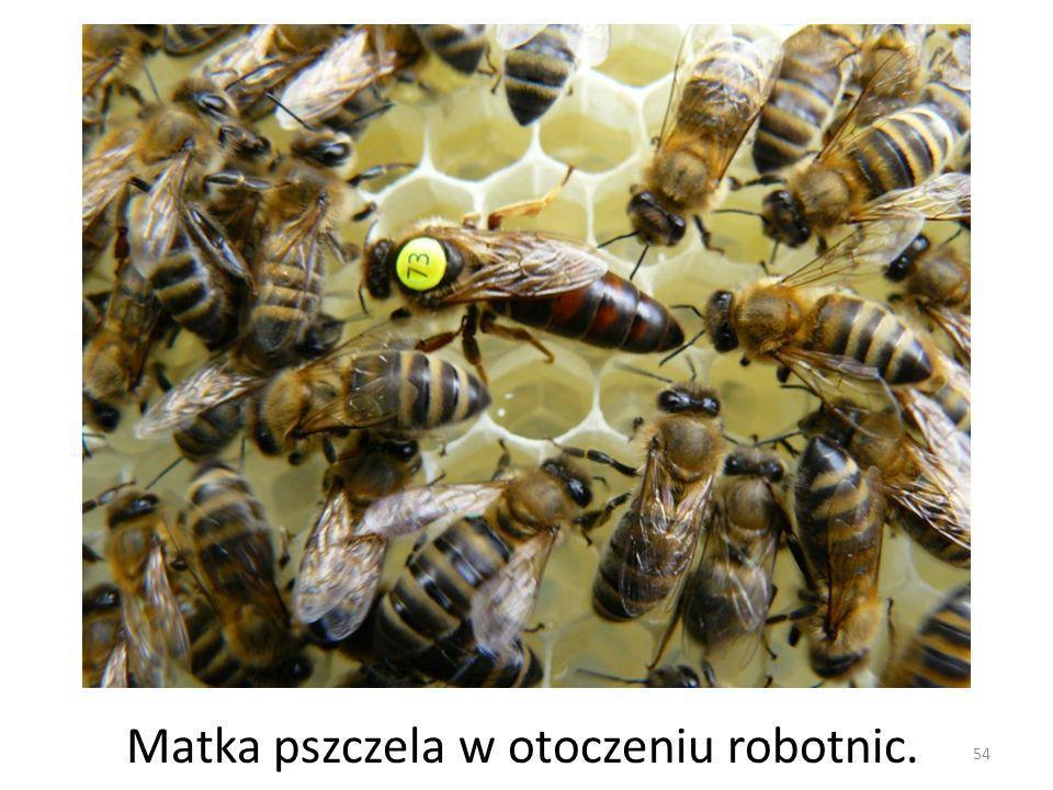 54 Matka pszczela w otoczeniu robotnic.