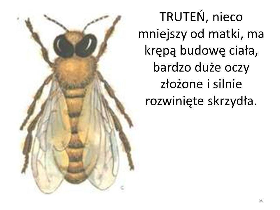 TRUTEŃ, nieco mniejszy od matki, ma krępą budowę ciała, bardzo duże oczy złożone i silnie rozwinięte skrzydła. 56