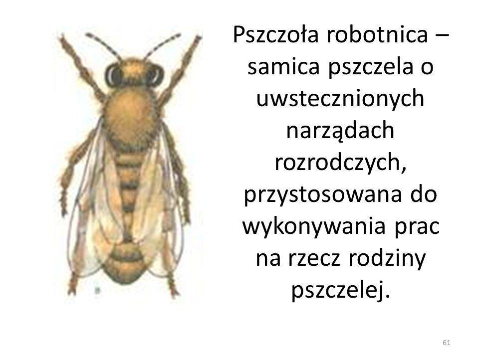 61 Pszczoła robotnica – samica pszczela o uwstecznionych narządach rozrodczych, przystosowana do wykonywania prac na rzecz rodziny pszczelej.