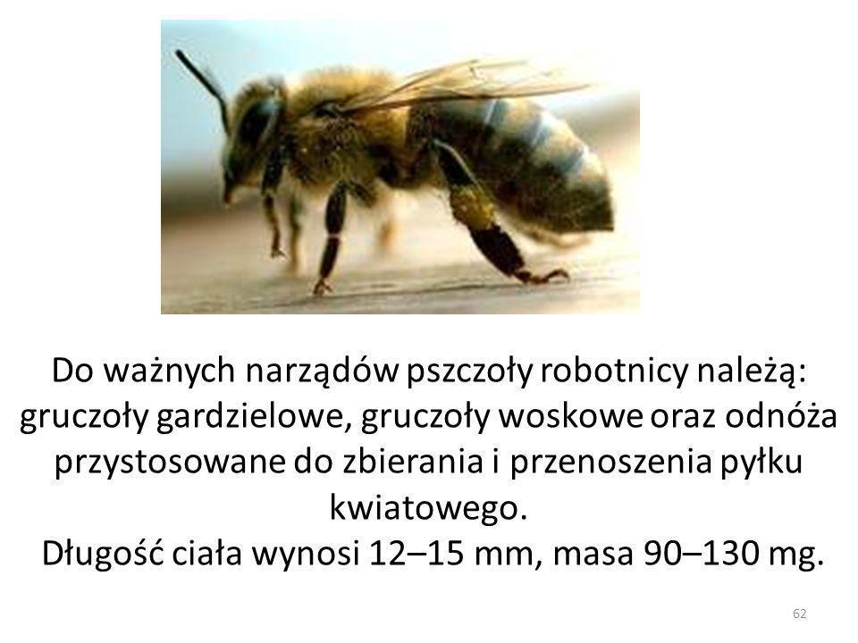62 Do ważnych narządów pszczoły robotnicy należą: gruczoły gardzielowe, gruczoły woskowe oraz odnóża przystosowane do zbierania i przenoszenia pyłku k