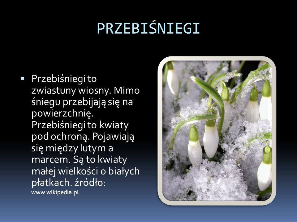 PRZEBIŚNIEGI Przebiśniegi to zwiastuny wiosny. Mimo śniegu przebijają się na powierzchnię. Przebiśniegi to kwiaty pod ochroną. Pojawiają się między lu