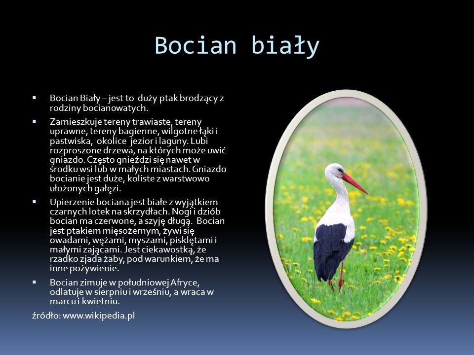 Bocian biały Bocian Biały – jest to duży ptak brodzący z rodziny bocianowatych. Zamieszkuje tereny trawiaste, tereny uprawne, tereny bagienne, wilgotn