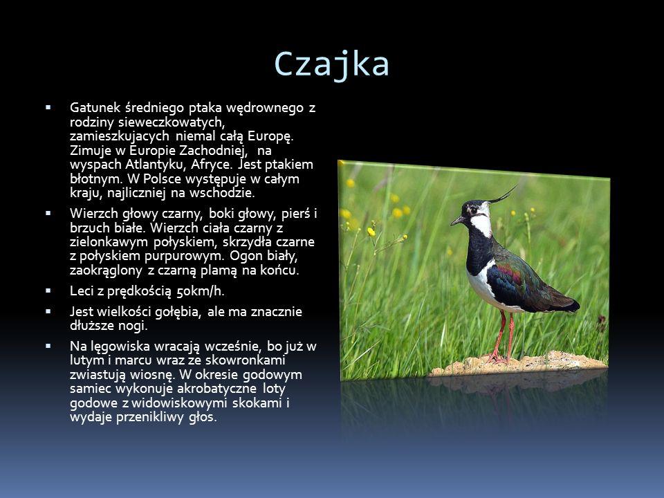 Czajka Gatunek średniego ptaka wędrownego z rodziny sieweczkowatych, zamieszkujacych niemal całą Europę. Zimuje w Europie Zachodniej, na wyspach Atlan