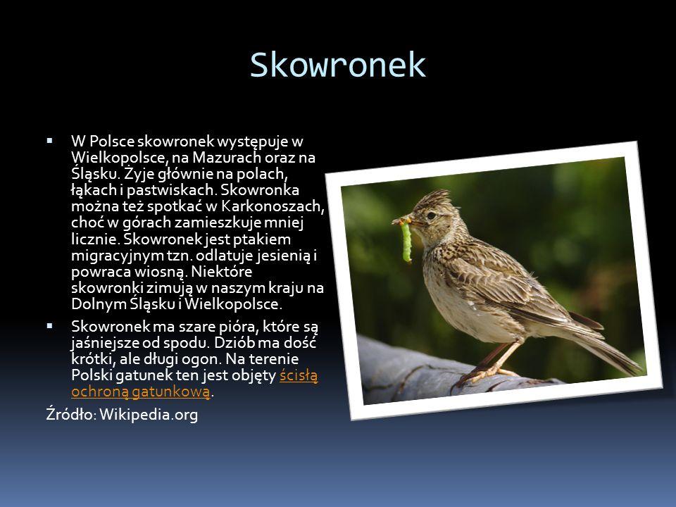Skowronek W Polsce skowronek występuje w Wielkopolsce, na Mazurach oraz na Śląsku. Żyje głównie na polach, łąkach i pastwiskach. Skowronka można też s