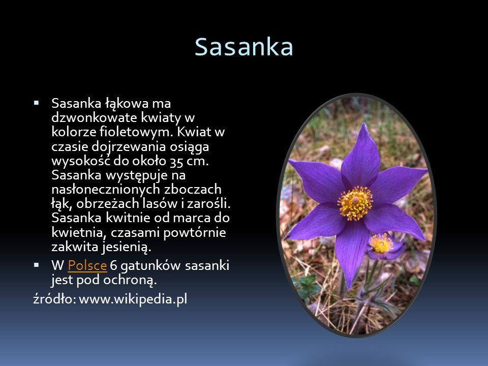 Sasanka Sasanka łąkowa ma dzwonkowate kwiaty w kolorze fioletowym. Kwiat w czasie dojrzewania osiąga wysokość do około 35 cm. Sasanka występuje na nas