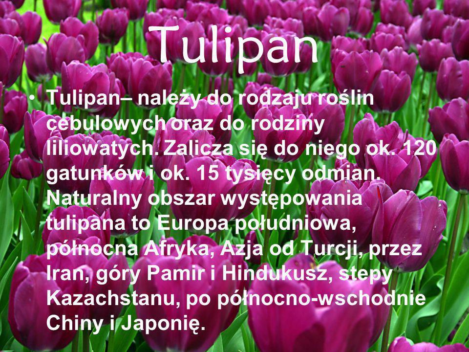 Tulipan Tulipan– należy do rodzaju roślin cebulowych oraz do rodziny liliowatych. Zalicza się do niego ok. 120 gatunków i ok. 15 tysięcy odmian. Natur