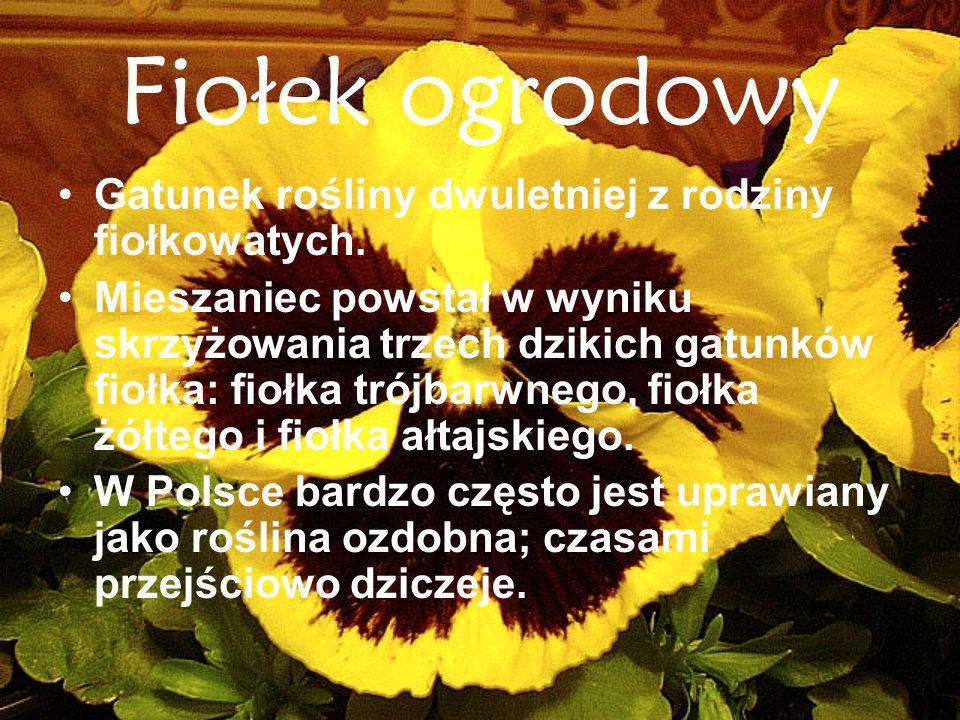 Fiołek ogrodowy Gatunek rośliny dwuletniej z rodziny fiołkowatych. Mieszaniec powstał w wyniku skrzyżowania trzech dzikich gatunków fiołka: fiołka tró