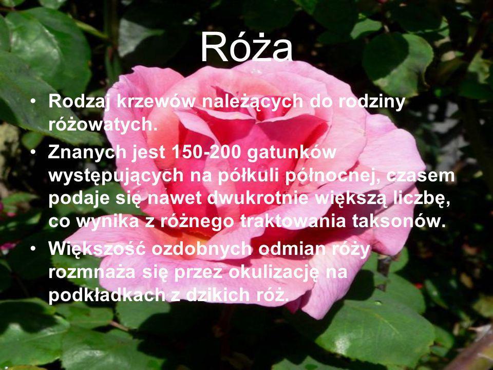 Róża Rodzaj krzewów należących do rodziny różowatych. Znanych jest 150-200 gatunków występujących na półkuli północnej, czasem podaje się nawet dwukro
