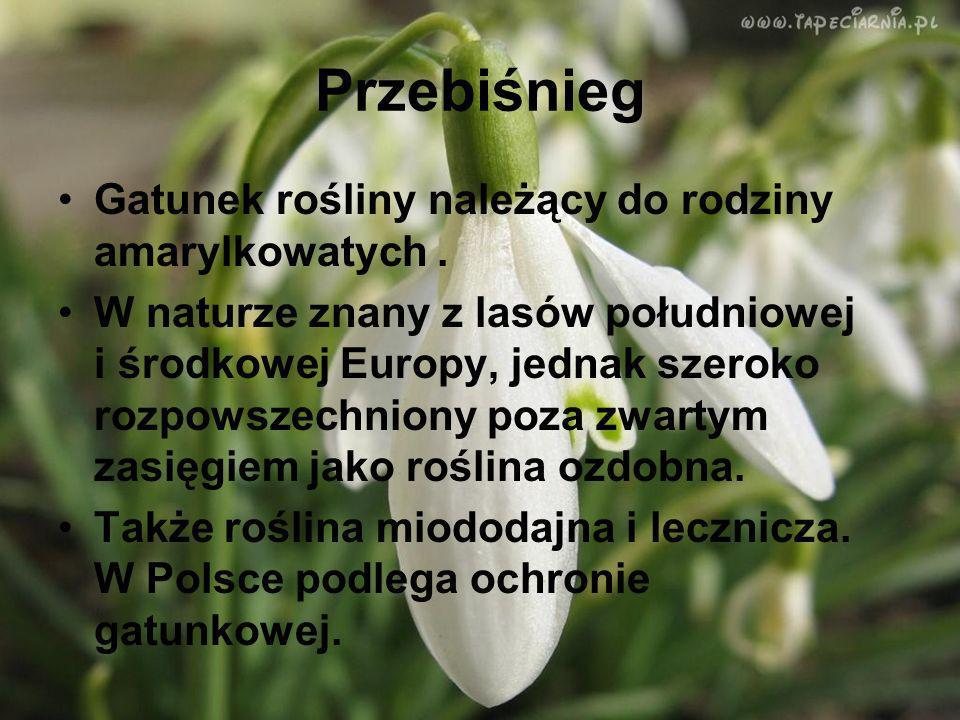 Przebiśnieg Gatunek rośliny należący do rodziny amarylkowatych. W naturze znany z lasów południowej i środkowej Europy, jednak szeroko rozpowszechnion