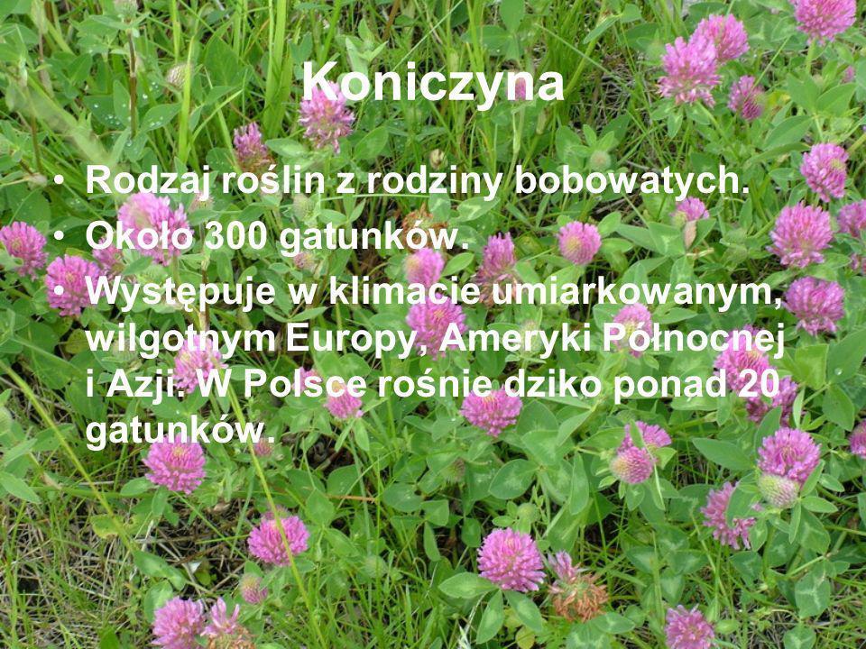 Koniczyna Rodzaj roślin z rodziny bobowatych. Około 300 gatunków. Występuje w klimacie umiarkowanym, wilgotnym Europy, Ameryki Północnej i Azji. W Pol