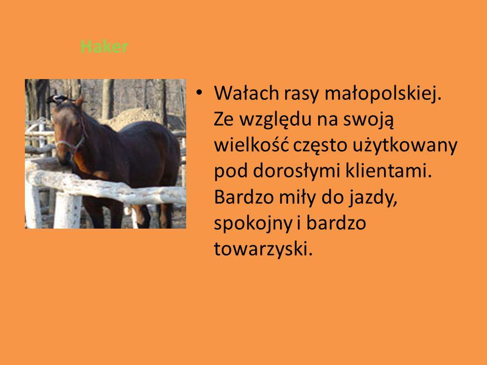 Haker Wałach rasy małopolskiej.