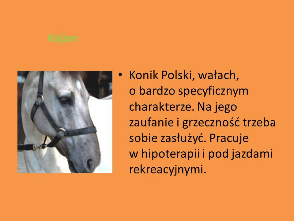 Kajzer Konik Polski, wałach, o bardzo specyficznym charakterze.