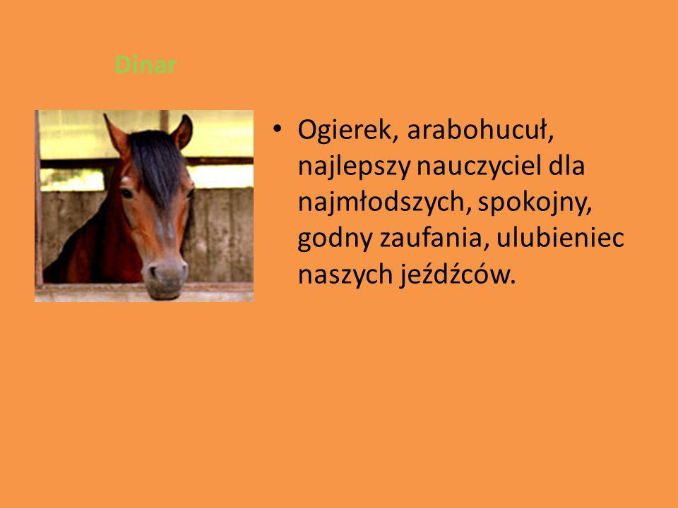 Dinar Ogierek, arabohucuł, najlepszy nauczyciel dla najmłodszych, spokojny, godny zaufania, ulubieniec naszych jeźdźców.