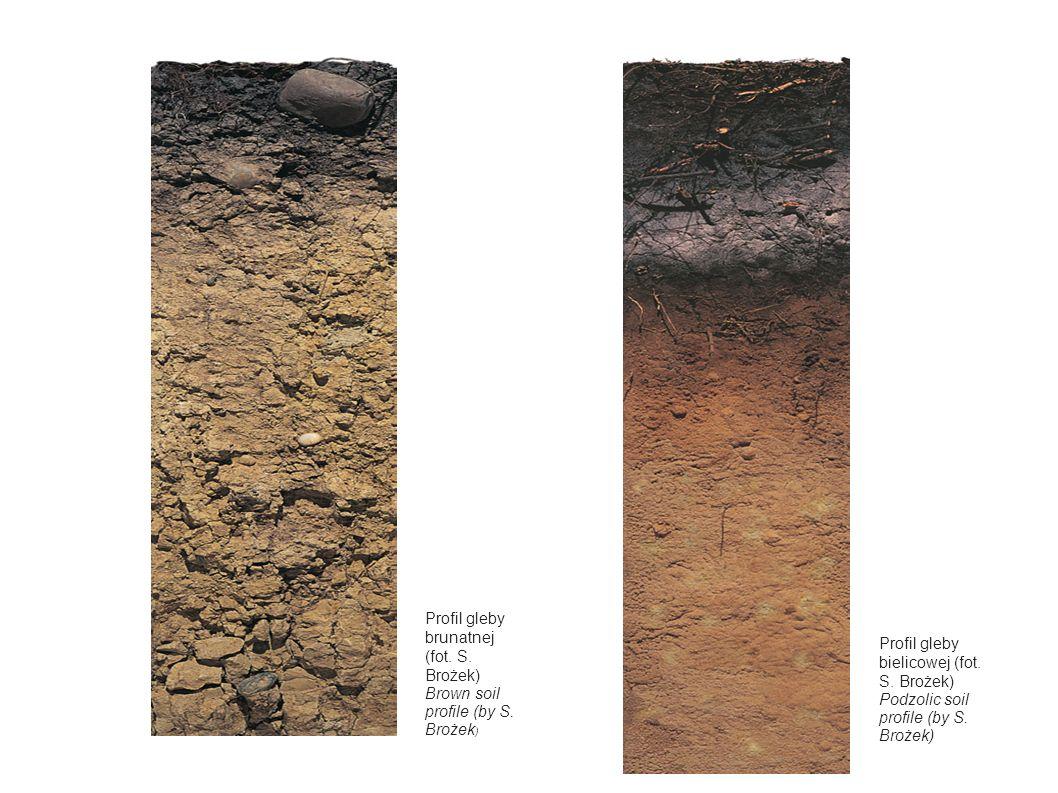 Profil gleby brunatnej (fot. S. Brożek) Brown soil profile (by S. Brożek ) Profil gleby bielicowej (fot. S. Brożek) Podzolic soil profile (by S. Broże