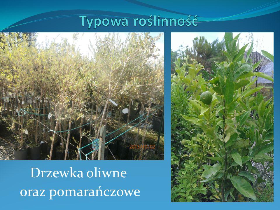 Drzewka oliwne oraz pomarańczowe