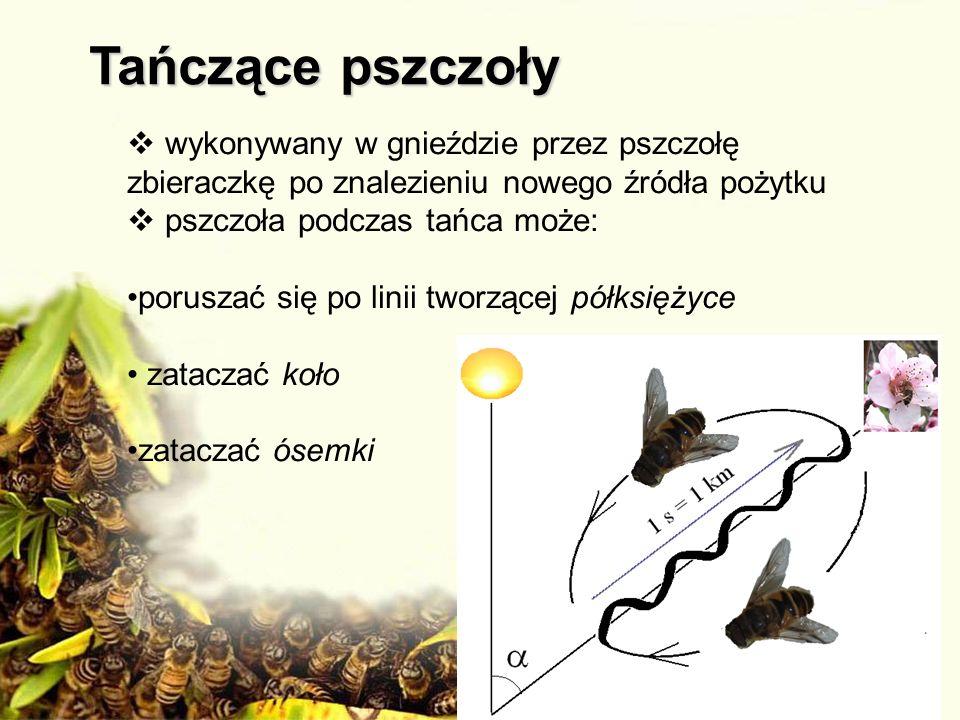 wykonywany w gnieździe przez pszczołę zbieraczkę po znalezieniu nowego źródła pożytku pszczoła podczas tańca może: poruszać się po linii tworzącej pół