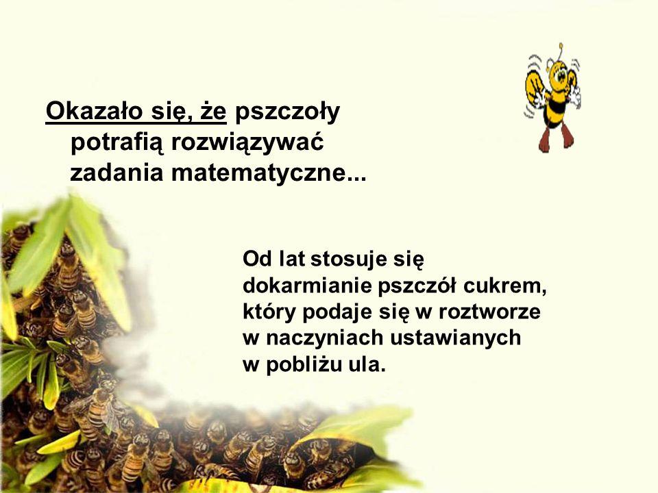 Okazało się, że pszczoły potrafią rozwiązywać zadania matematyczne... Od lat stosuje się dokarmianie pszczół cukrem, który podaje się w roztworze w na