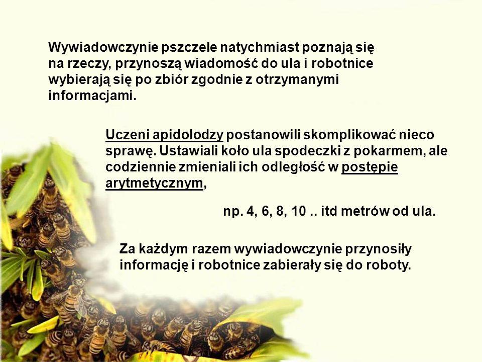 Wywiadowczynie pszczele natychmiast poznają się na rzeczy, przynoszą wiadomość do ula i robotnice wybierają się po zbiór zgodnie z otrzymanymi informa