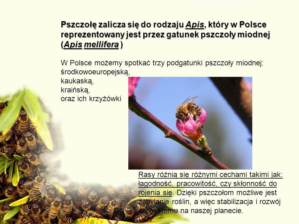 Pszczołę zalicza się do rodzaju Apis, który w Polsce reprezentowany jest przez gatunek pszczoły miodnej (Apis mellifera ) W Polsce możemy spotkać trzy