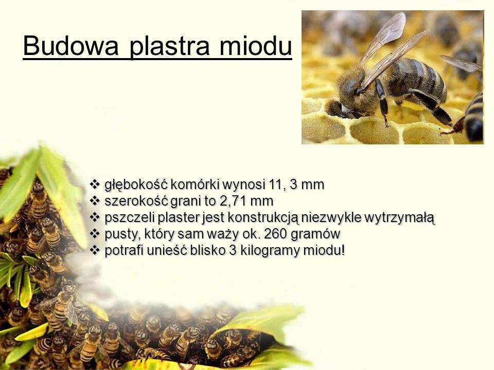 Budowa plastra miodu głębokość komórki wynosi 11, 3 mm głębokość komórki wynosi 11, 3 mm szerokość grani to 2,71 mm szerokość grani to 2,71 mm pszczel