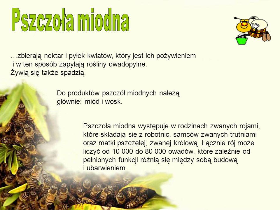 …zbierają nektar i pyłek kwiatów, który jest ich pożywieniem i w ten sposób zapylają rośliny owadopylne. Żywią się także spadzią. Do produktów pszczół