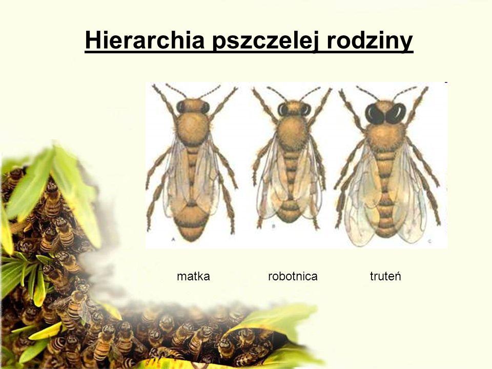 Hierarchia pszczelej rodziny matka robotnica truteń