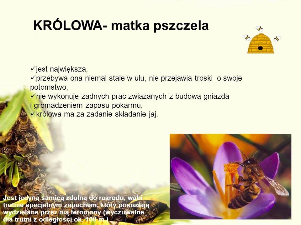 KRÓLOWA- matka pszczela jest największa, przebywa ona niemal stale w ulu, nie przejawia troski o swoje potomstwo, nie wykonuje żadnych prac związanych