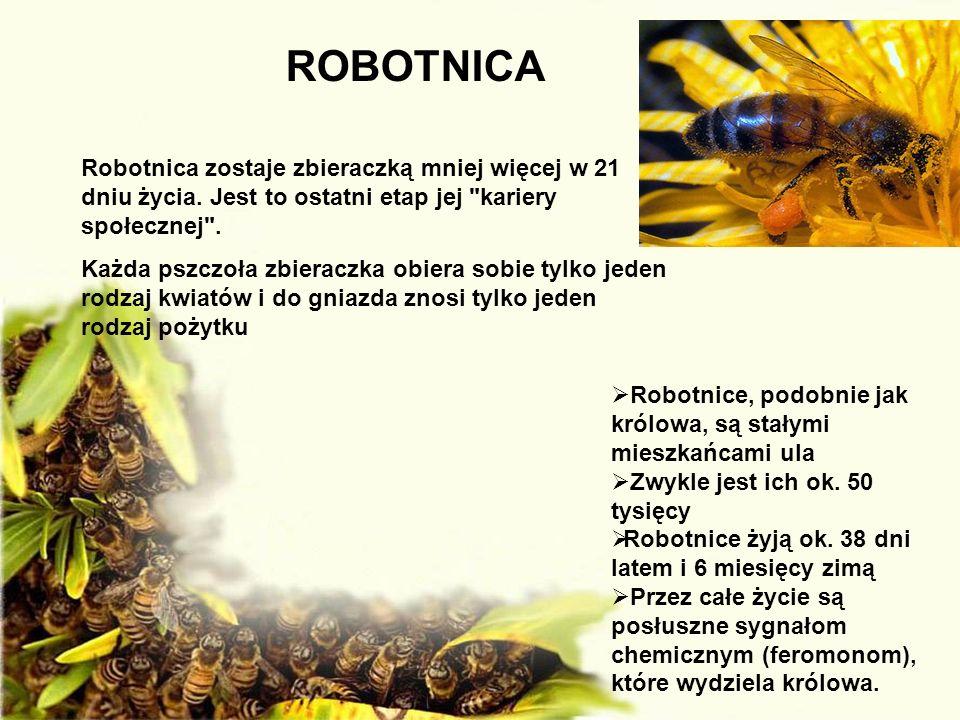 ROBOTNICA Robotnica zostaje zbieraczką mniej więcej w 21 dniu życia. Jest to ostatni etap jej