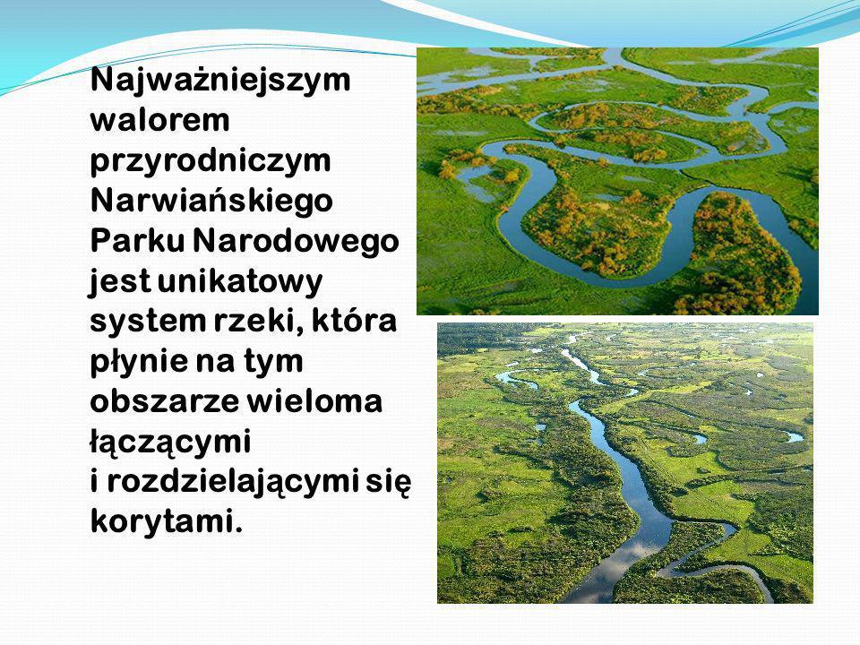 Najwa ż niejszym walorem przyrodniczym Narwia ń skiego Parku Narodowego jest unikatowy system rzeki, która p ł ynie na tym obszarze wieloma łą cz ą cy