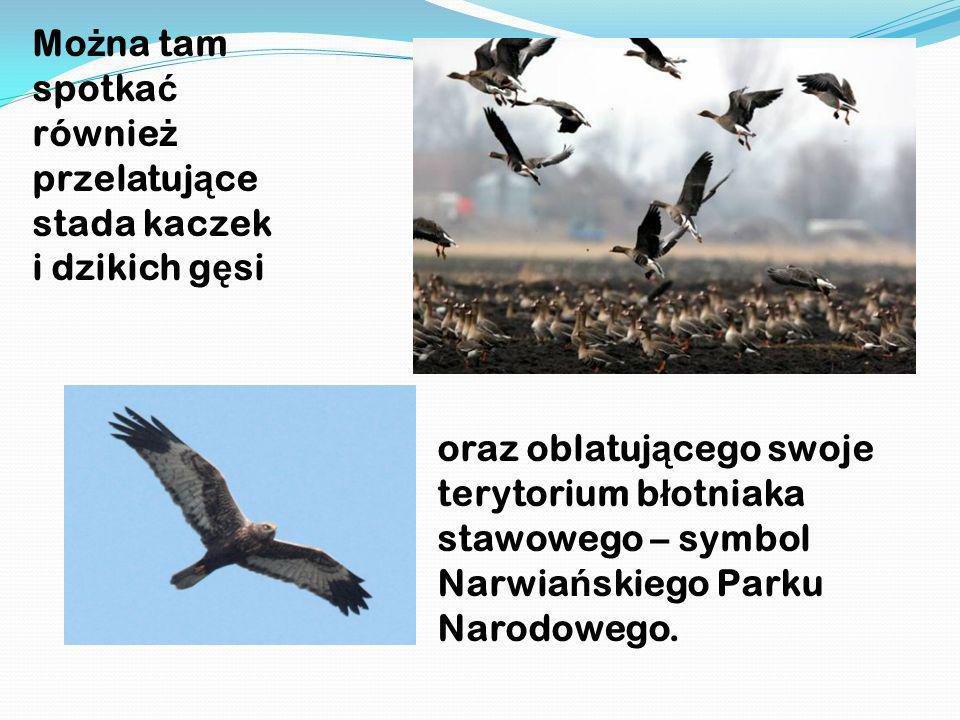 Mo ż na tam spotka ć równie ż przelatuj ą ce stada kaczek i dzikich g ę si oraz oblatuj ą cego swoje terytorium b ł otniaka stawowego – symbol Narwia